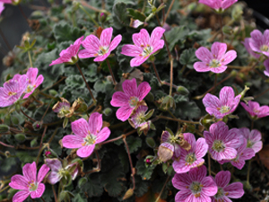 Vivers Càrex - Erodium reichardii